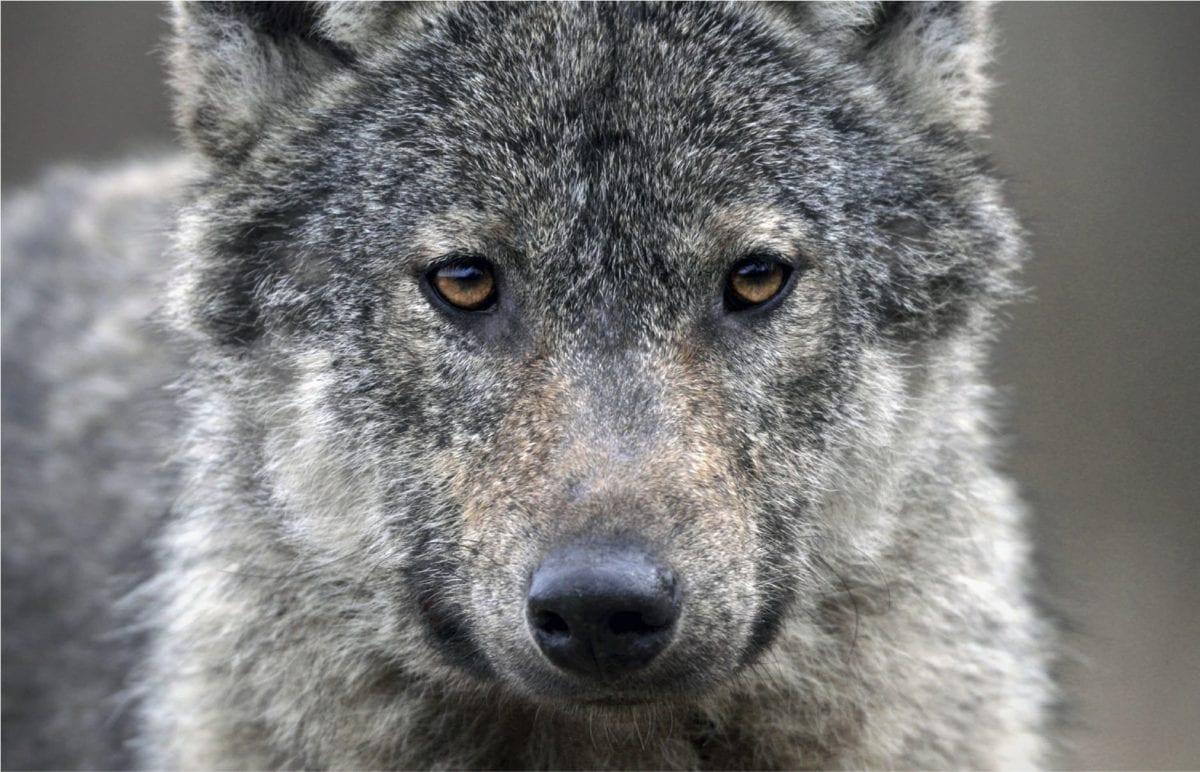 photo sur bois Adrien Favre les petits aviateurs loup